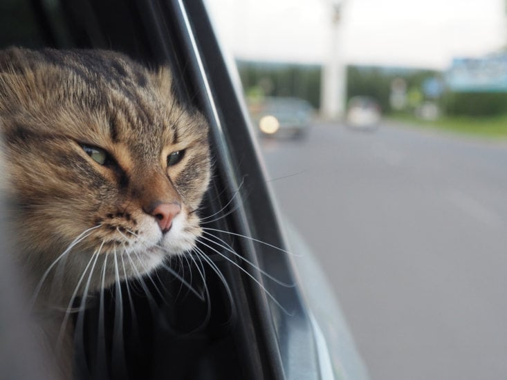 Sedating a cat for travel in a car
